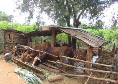 Quelques boeufs dans une ferme montagnarde