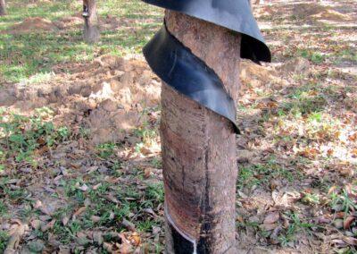 Récolte du latex issu de l'hévéa