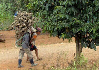 Transport de la récolte de manioc